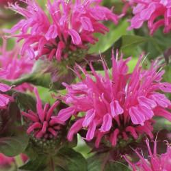 Plante Monarda Pink Lace-Menta indiana