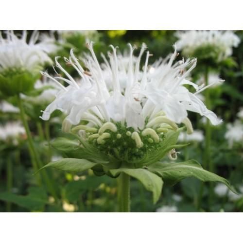 Plante Monarda Schneewittchen - Menta indiana