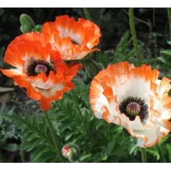 Plante Papaver orientale Picotee - Mac peren