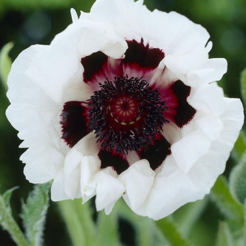 Plante Papaver orientale Royal Wedding - Mac peren