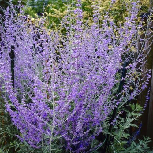 Plante Perovskia atriplicifolia Blue Spire - Salvie ruseasca