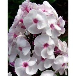 Plante Phlox paniculata Ice Cream - Brumarele