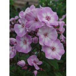 Plante Phlox paniculata Pink Lady - Brumarele