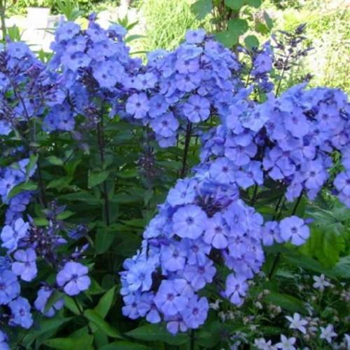 Plante Phlox paniculata Blue Paradise -Brumarele