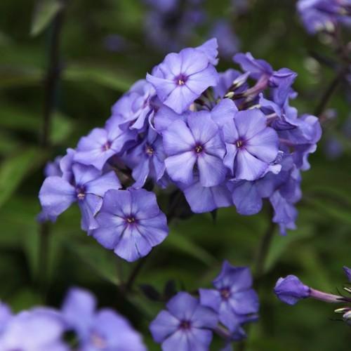 Plante Phlox paniculata Blue Boy -Brumarele