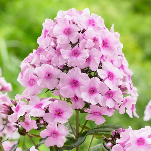 Plante Phlox paniculata Bright Eyes-Brumarele