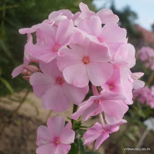 Plante Phlox paniculata Elizabeth Arden-Brumarele