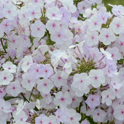 Plante Phlox paniculata Fashionably Early Crystal-Brumarele