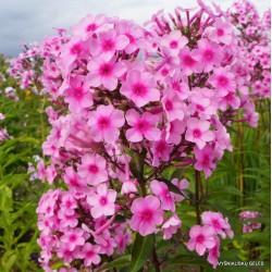 Plante Phlox paniculata Miss Pepper - Brumarele