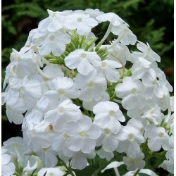 Plante Phlox paniculata White Admiral-Brumarele