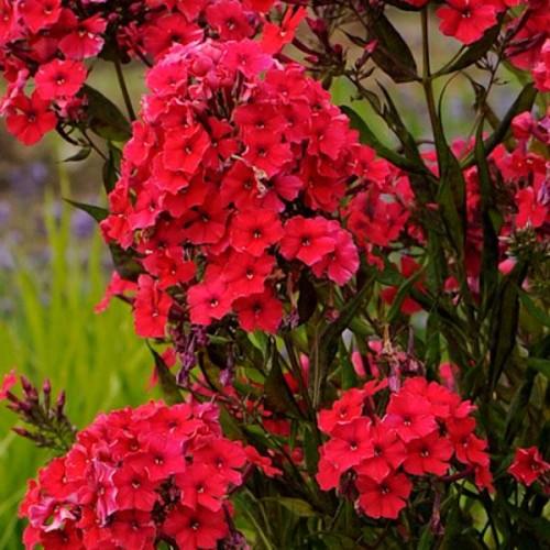 Plante Phlox paniculata Red Riding Hood - Brumarele