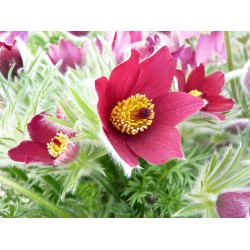 Plante Pulsatilla vulgaris Rubra - Deditel
