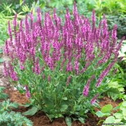 Plante Salvia nemorosa Sensation Rose - Salvia de munte