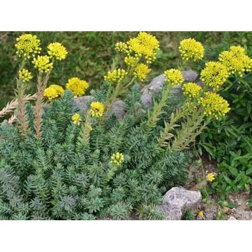 Plante Sedum rupestre - iarba grasa