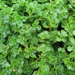 Plante Sedum spurium - iarba grasa
