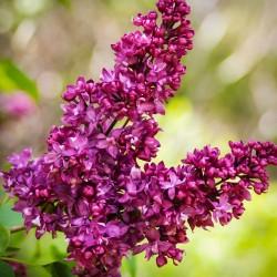 Plante Syringa vulgaris Charles Joly -Liliac