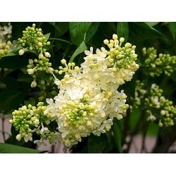 Plante Syringa vulgaris Primrose -Liliac