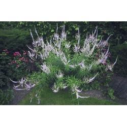 Plante Veronicastrum virginiana Lavendelturm