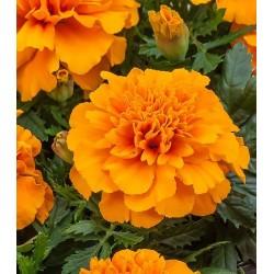 Seminte TAGETES patula CHICA Orange - Craite pitice