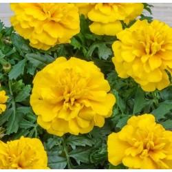 Seminte TAGETES patula CHICA Yellow - Craite pitice