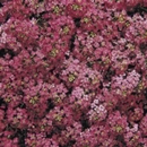 Seminte ALYSSUM maritima WONDERLAND Deep Rose - Ciucusoara