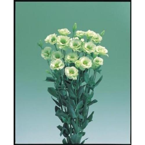 Seminte LISIANTHUS (Eustoma grandiflorum) ARENA F1 3 Green