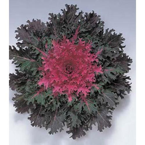 Seminte BRASSICA oleracea CORAL F1 Queen - Varza decorativa