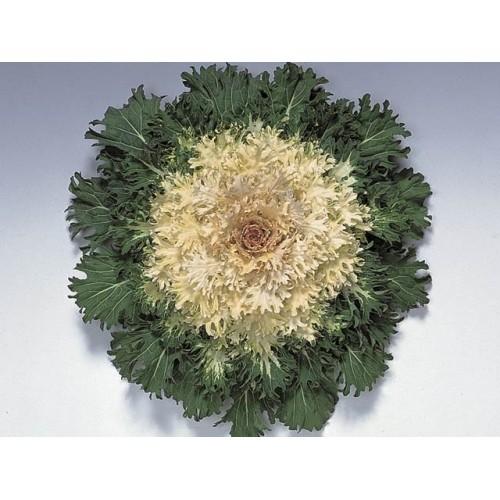 Seminte BRASSICA oleracea CORAL F1 Prince - Varza decorativa