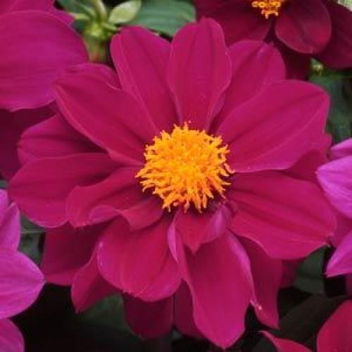 Seminte DAHLIA variabilis FIGARO Violet Shades - Dalia, Gherghine
