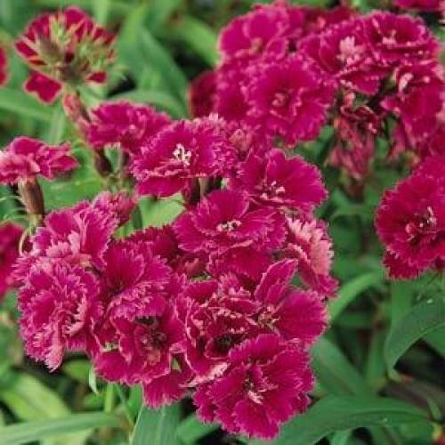 Seminte DIANTHUS hybrid DYNASTY F1 Purple - Garofite