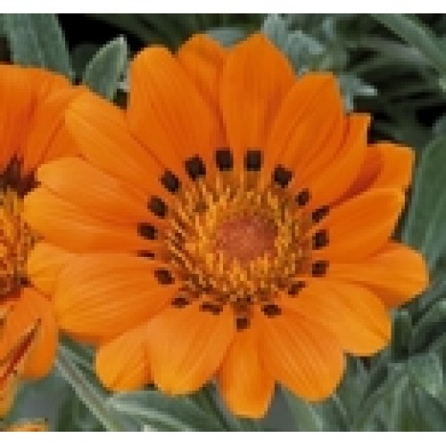 Seminte GAZANIA rigens TALENT F1 Orange