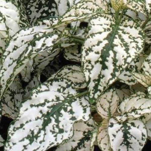 Seminte HYPOESTES phyllostachya SPLASH F1 White