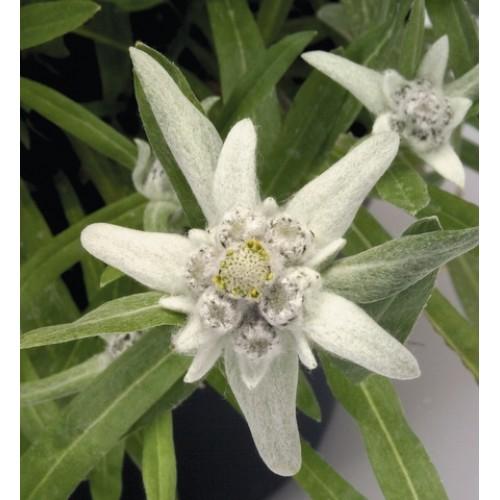 Seminte LEONTOPODIUM alpinum Edelweiss - Floare de colt