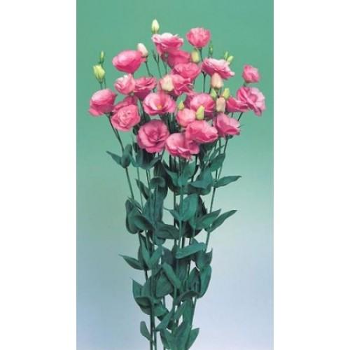 Seminte LISIANTHUS (Eustoma grandiflorum) ARENA F1 4 Rose