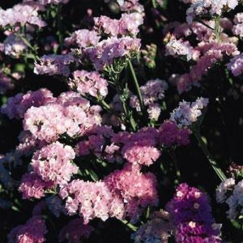 Seminte LIMONIUM sinuatum QIS Pastel - Flori de pai, Imortele
