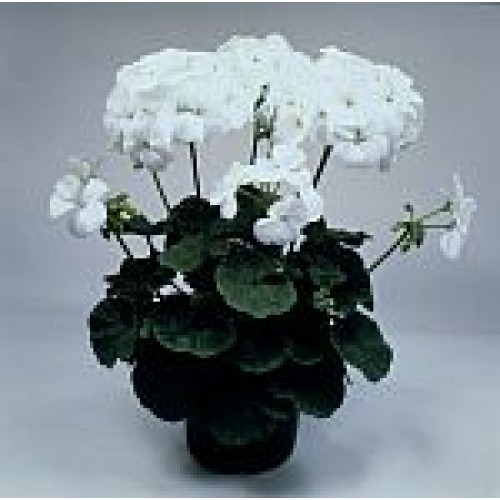 Seminte PELARGONIUM x hortorum VOGUE F1 Pure White - Muscate