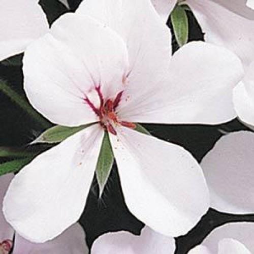 Seminte PELARGONIUM x peltatum SUMMER SHOWERS F1 White Blush - Muscate curgatoare