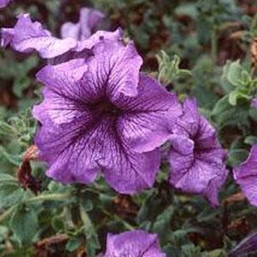 Seminte PETUNIA grandiflora DADDY F1 Blue