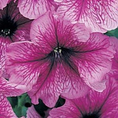 Seminte PETUNIA grandiflora DADDY F1 Sugar