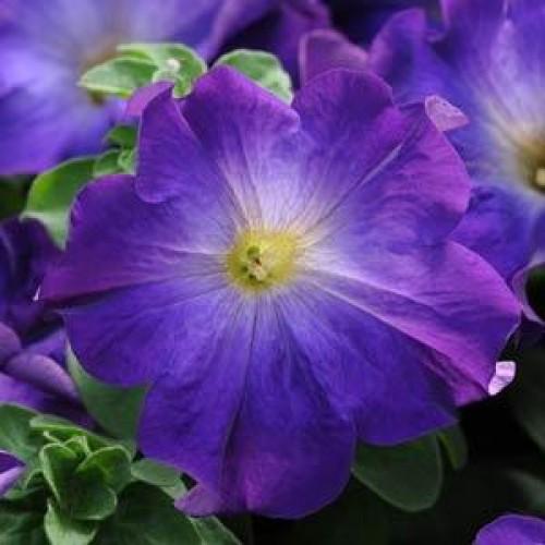 Seminte PETUNIA hybrida SOPHISTICA F1 Blue Morn