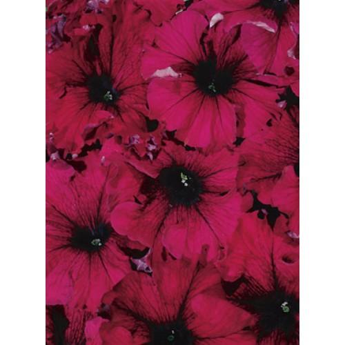 Seminte PETUNIA grandiflora SUPERCASCADE F1 Burgundy