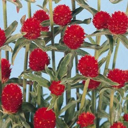 Seminte GOMPHRENA globosa QIS Red - Imortele