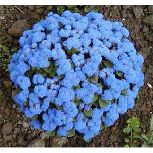 Seminte AGERATUM houstonianum Dwarf Blue Ball - Pufuleti