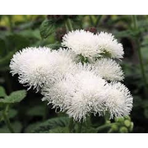 Seminte AGERATUM houstonianum Dwarf White Ball - Pufuleti