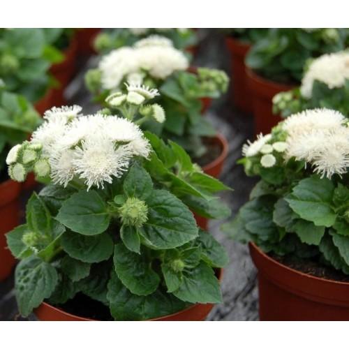 Seminte AGERATUM houstonianum  Aloha F1 dwarf White - Pufuleti