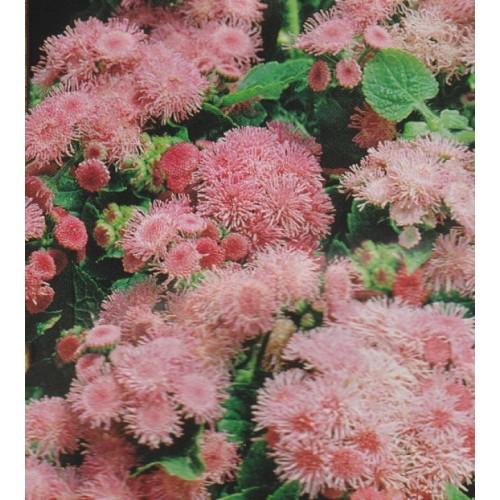 Seminte AGERATUM houstonianum Dwarf Ball Pink Ball - Pufuleti