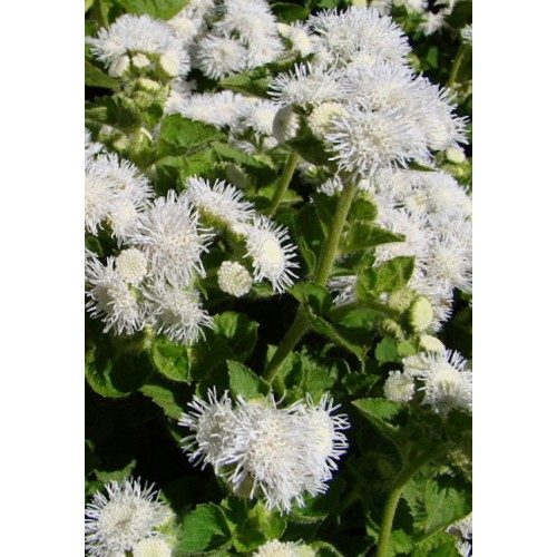 Seminte AGERATUM houstonianum Dwarf Ball White - Pufuleti