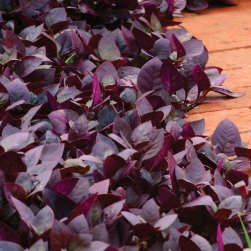Seminte ALTERNATERA brasiliana Purple Prince