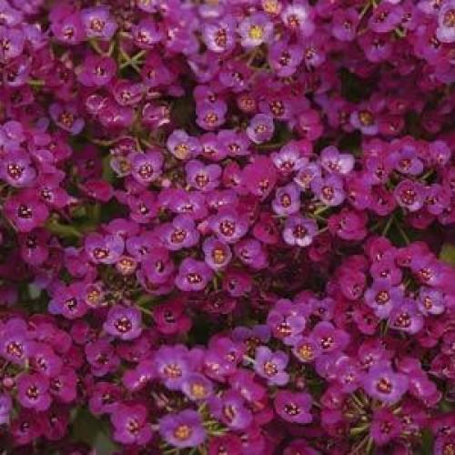 Seminte ALYSSUM maritima Clear Crystal Purple - Ciucusoara