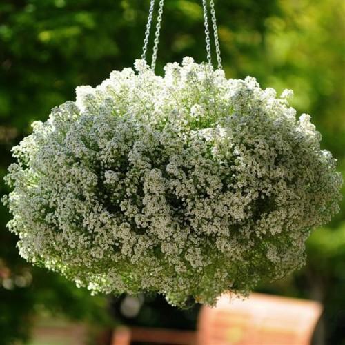 Seminte ALYSSUM maritima Clear Crystal White -Ciucusoara